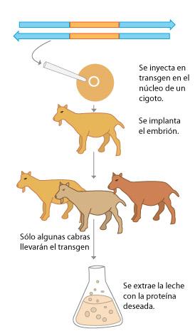 esquema animais transxenicos