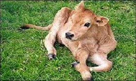 Pampa la primer vaca transgénica producida en Argentina