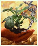 biotecnologia-y-cultivo-de-papa-transgenica.jpg