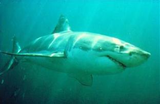 anticuerpos-de-tiburon-para-combatir-las-enfermedades.jpg