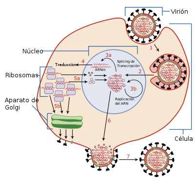 Replicación virus de la gripe