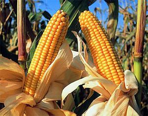maiz-transgenico.jpg