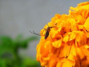 Repelentes naturales contra picaduras mosquitos